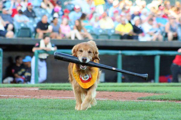 GIF: Minor League Baseball Team Uses Dog For A Batboy